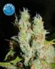Kera Medical Buddha Female 10 Cannabis Seeds